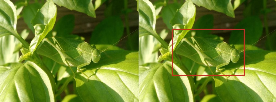 Katydid_camouflaged_in_basil_plant
