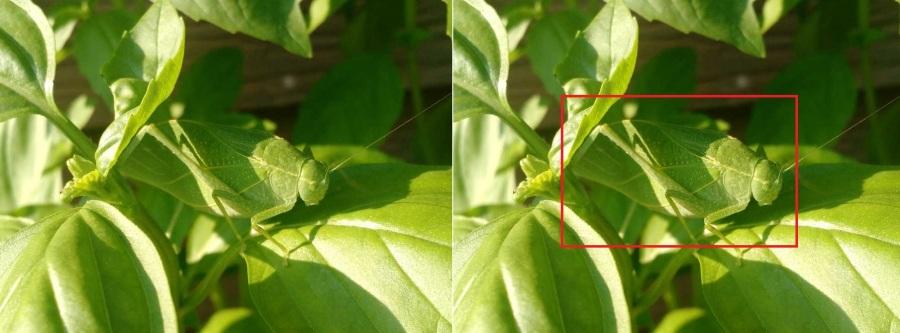 Katydid_camouflaged_in_basil_plant