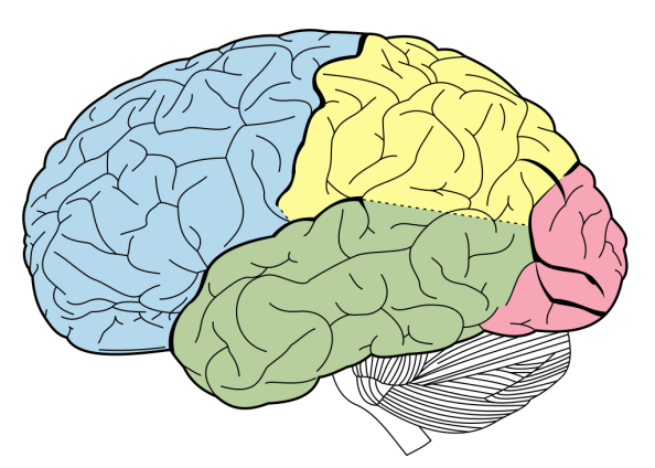 brain_lobe